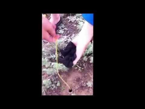 как ловить тарантулов
