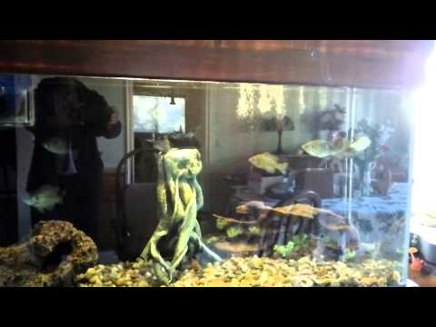 90 gallon bluegill aquarium with jebao dc 6000 pump and for Bluegill fish tank
