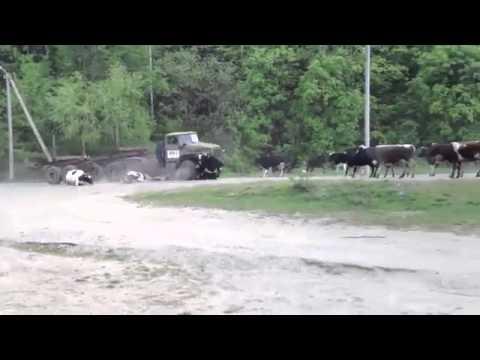 Урал лесовоз врезается в стадо коров - The Urals timber truck slams into a herd of cows