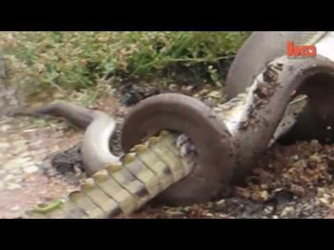 Snake Devours Crocodile after 5 Hour Battle 720p