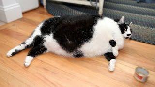 Fat Feline Weighs A Shocking 32lbs