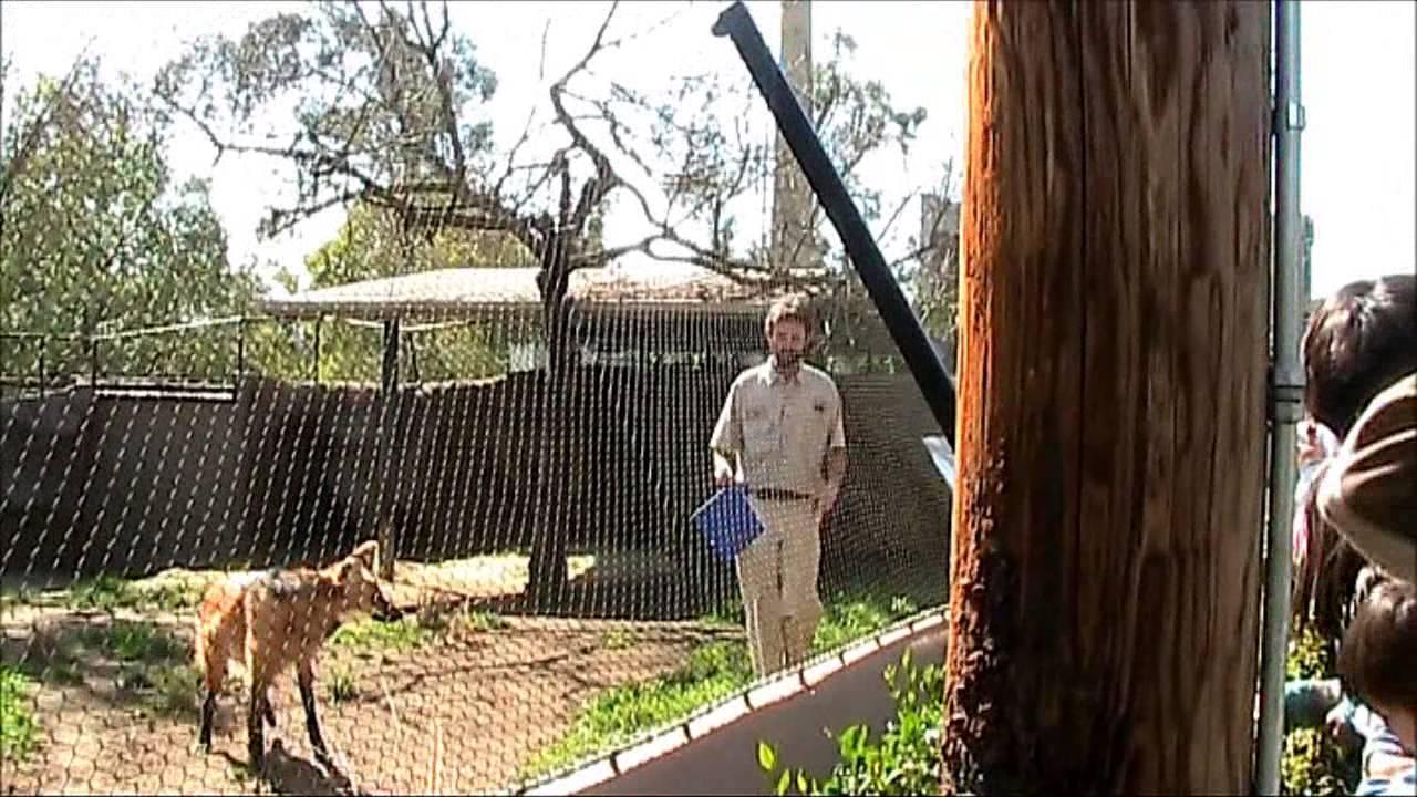 Maned Wolf Pet Training With Maned Wolf