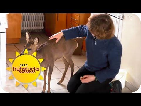 GASSI gehen mit REH - Ein REH als HAUSTIER   SAT.1 Frühstücksfernsehen   TV