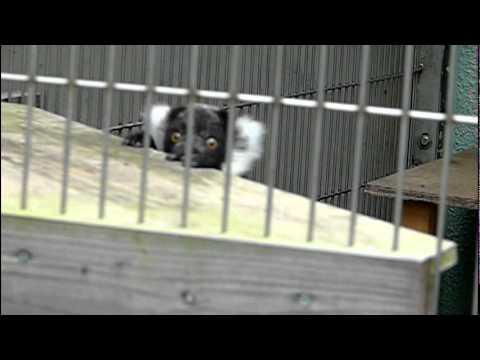 エリマキキツネザルの赤ちゃん。Baby Black and White Ruffed Lemur.#04