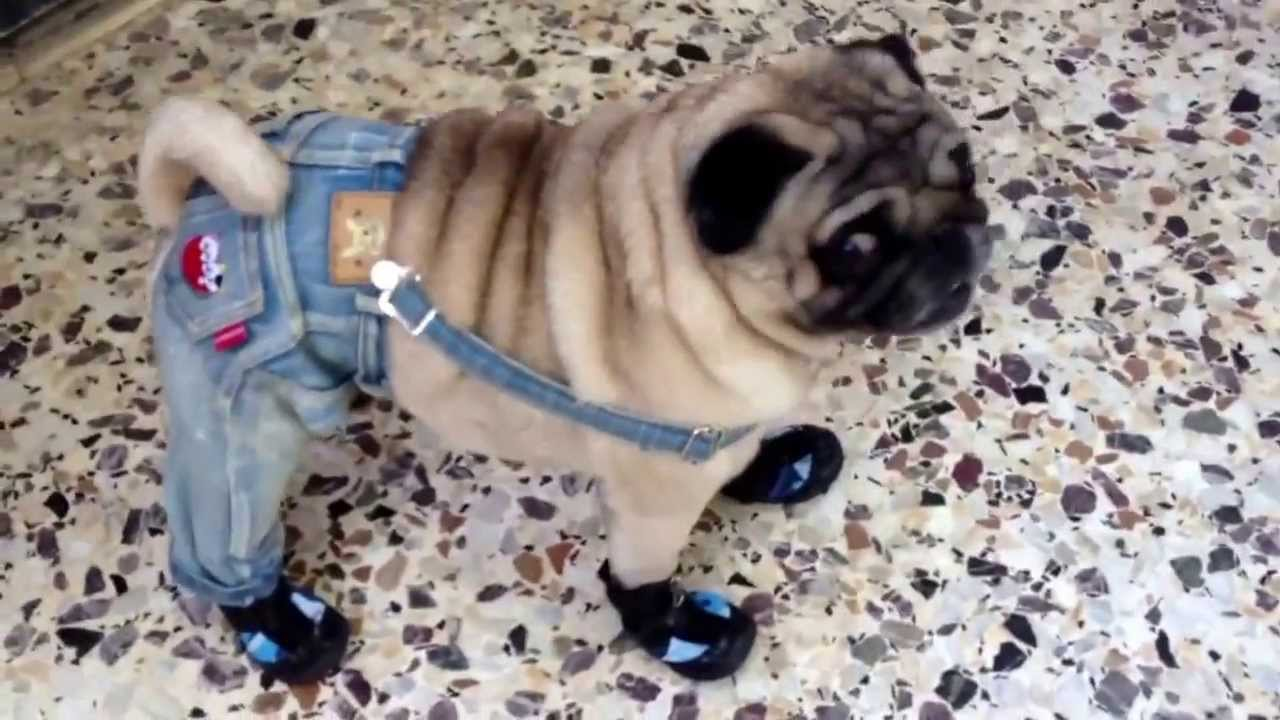amazing dog pug walks in shoes and clothes   youtube