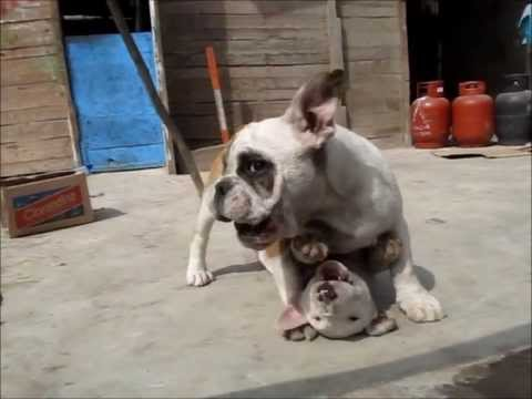 Bull terrier Vs Bull Dog Ingles 2/3