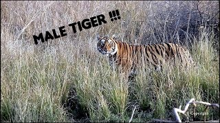 Ranthambore Tiger Sighting : Male Tiger Territorial Roaming