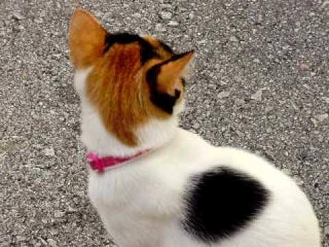 三毛猫の画像 p1_39