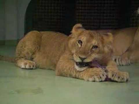 じゃれあい大好き、ライオンの双子の子どもたち 7ヶ月