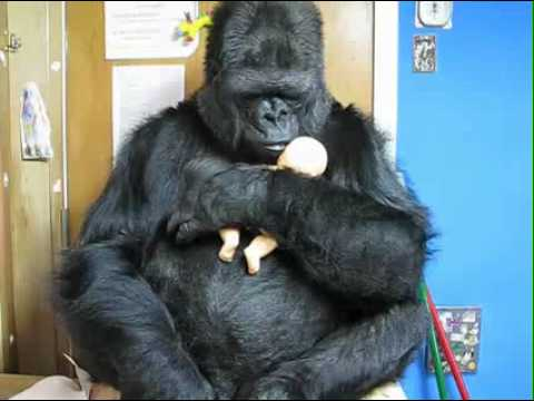 Koko shows motherhood empathy
