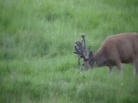 big mule deer buck with drop down tine