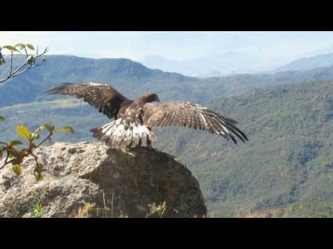 Liberación Águila Real SEDENA SEMARNAT La Yesca Nayarit