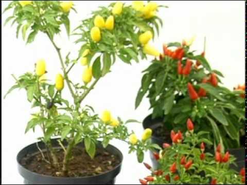 Pimenteira de jardim