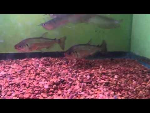 Armatus vampire tetra youtube for Vampire fish for sale