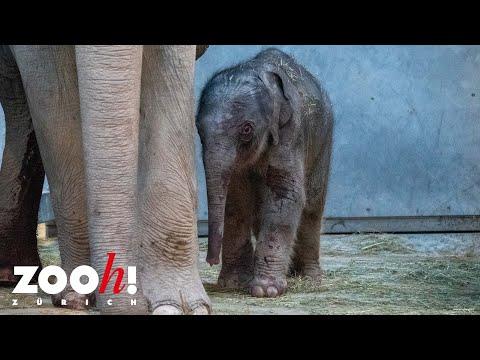 Neugeborenes Elefantenkalb im Zoo Zürich