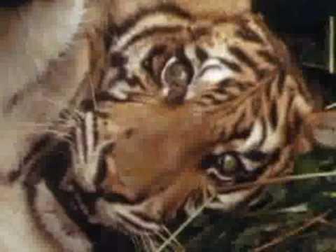 WildAid PSA: Tiger Farms