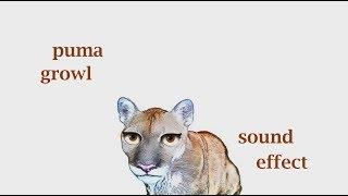 The Animal Sounds: Puma Growls - Sound Effect - Animation