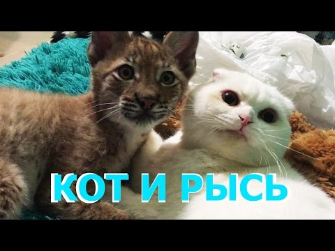 ЖИЗНЬ КОТА С РЫСЬЮ. Как кот Пусси вырастил рысь Ханну / THE LIFE OF A CAT AND A LYNX