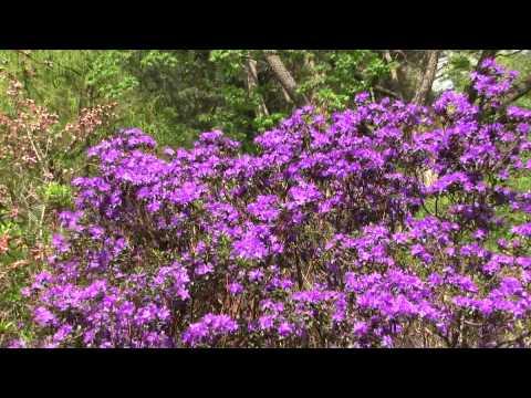 Rhododendron-Blüten