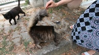 Tabby cat with fluffy tail meowing so cute