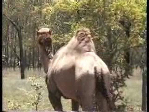 Feral Camels in Australia