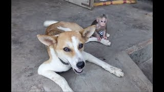 Baby Monkey Doo  And Dog Friendship - Funny Animals