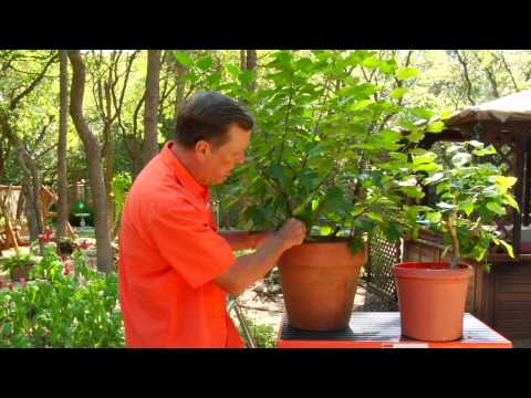 Gardening Tips : Caring for Hibiscus Plants Video