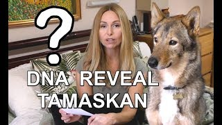 DOG DNA REVEAL - TAMASKAN DOG - SHOCK RESULTS