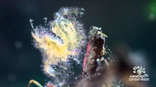 インドネシアのレンベ島(レンベ海峡)の変わった魚たち