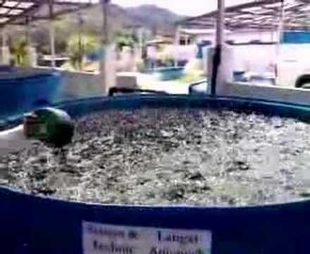 Effective System To Grow Catfish Clarias Batrichus