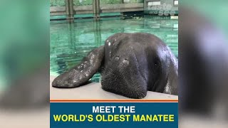 Snooty, the worlds oldest manatee, turns 69 years old