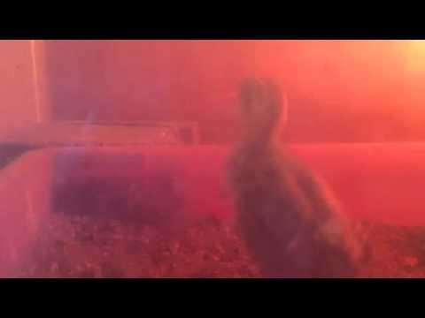 Baby Kala Teetar 4 Days Old Speaking video