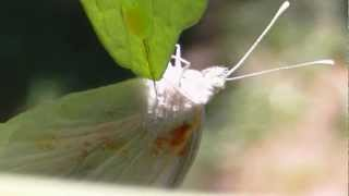 Butterfly, Egg Laying