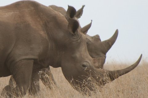 Rhino is listed (or ranked) 27 on the list The Top 100 Weirdest, Most Amazing Creatures Ever On Earth