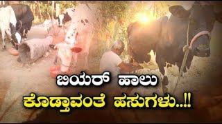 Cow Gave Alcohol Instead Of Milk In Raichur
