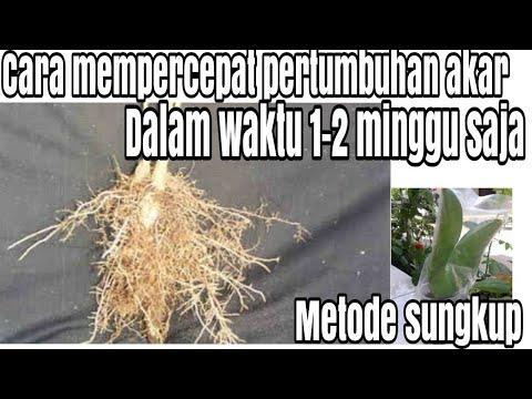 Cara mempercepat pertumbuhan akar dalam waktu 1-3 minggu saja