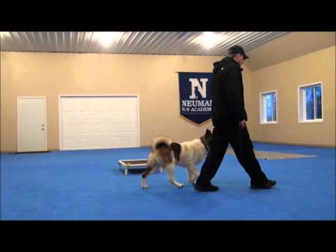 Jacky (Akita) Dog Training Boot Camp Video