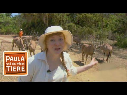 Im Reich der Antilopen (Doku) |Reportage für Kinder | Paula und die wilden Tiere
