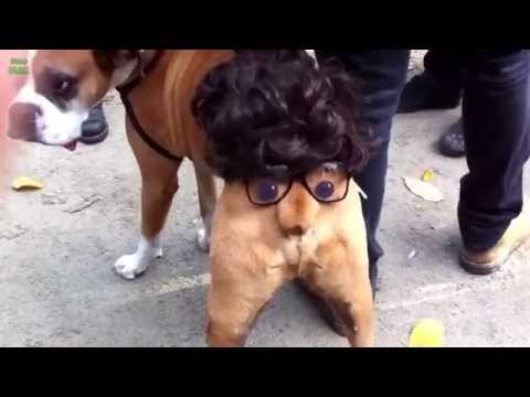 Funny Dogs Wearing Costumes Compilation 2015 HD