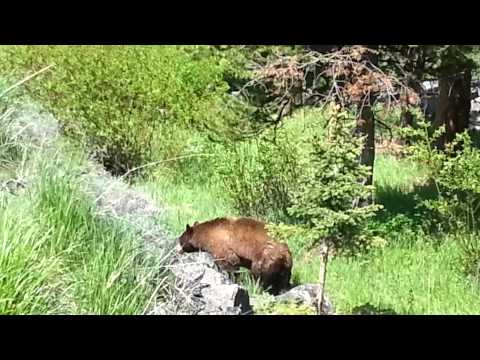 Grizzly and black bear together! at Yellowstone