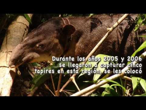 Tapir Centroamericano: El Arquitecto de la Naturaleza