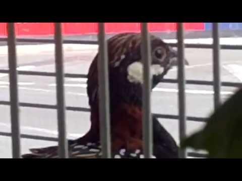 Quail Kala Teetar Black Francoline In London By Imran Khan video