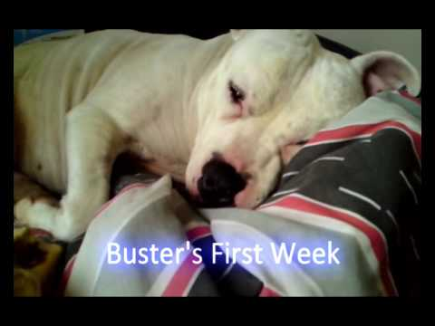 Meet Buster - dog walk training & the staffy status cycle (RSPCA Stories)