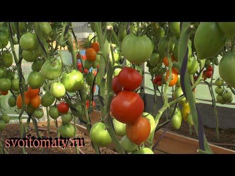 Сбор урожая томатов с разной спелостью плодов