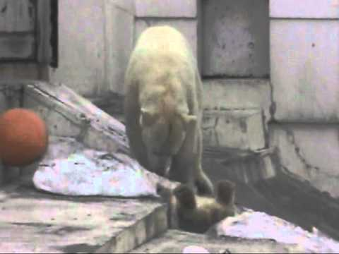 円山動物園ホッキョクグマ。雪堀りに夢中な赤ちゃん 2010.4.10