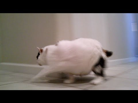 太っちょ猫だけど走れるもん!家の中を猛ダッシュ!