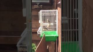 Nice switty goldfinch hen and good singing cock getting ready for breeding