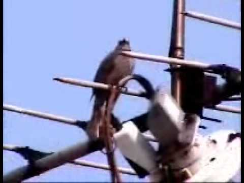 A  BIRD  SING  SPRING SATELLITE  ANTENNA !.wmv