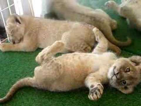 Baby Lions Video