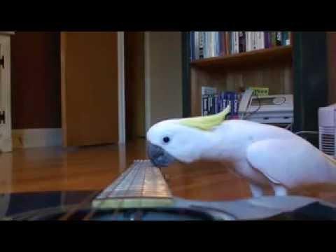 wow guitar playing parrot   funny pet bird cockatoo video